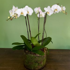 Luxe Potted Orchids